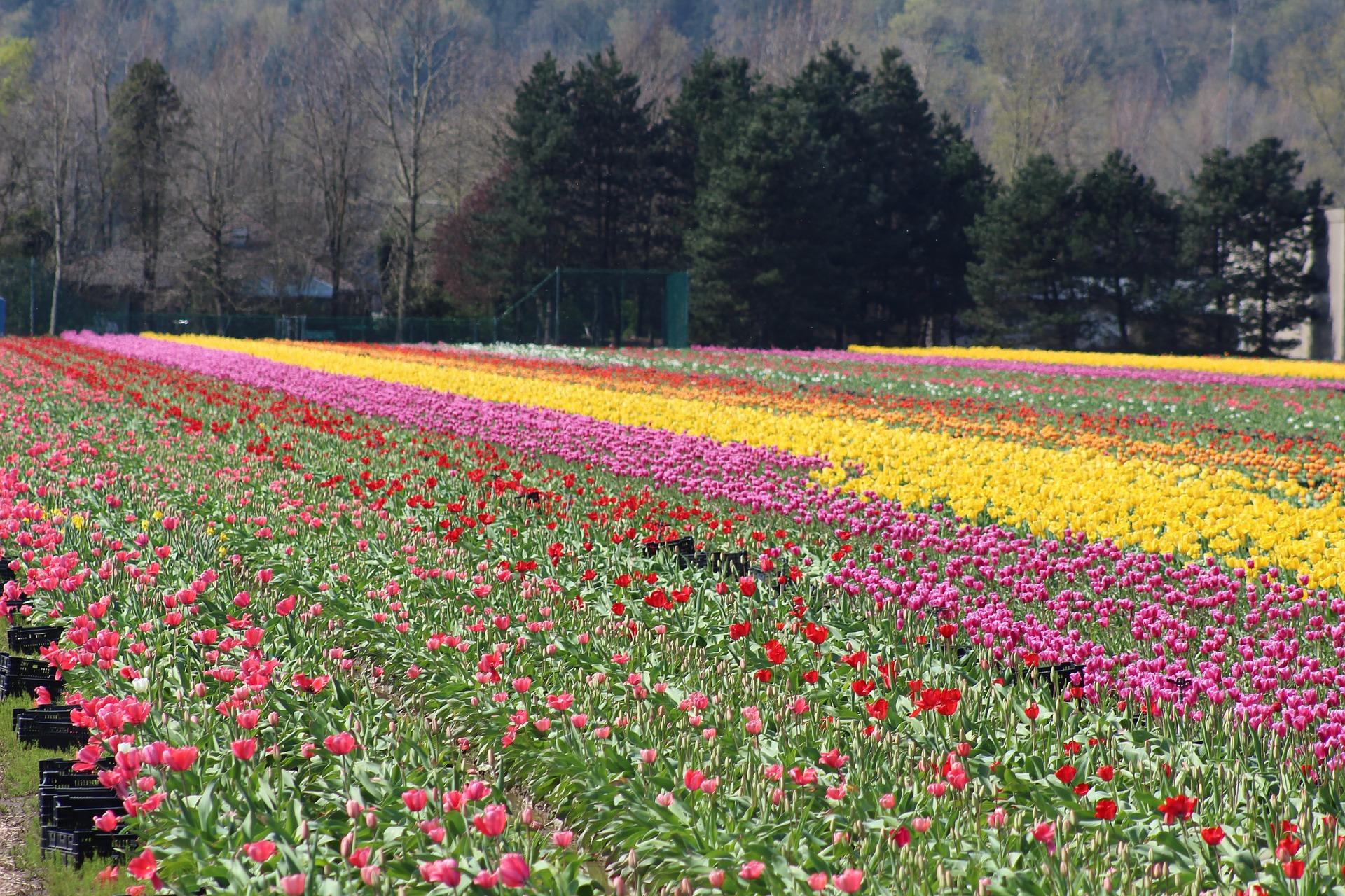 tulip-706950_1920
